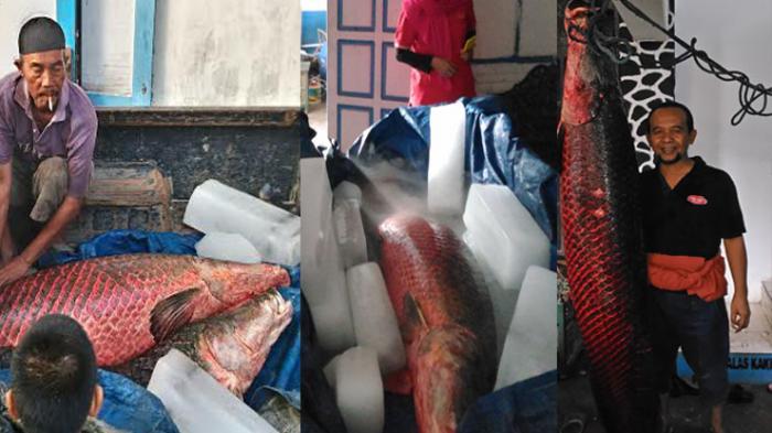 Ikan Sebesar Manusia Milik Warga Sleman Ini Akhirnya Mati