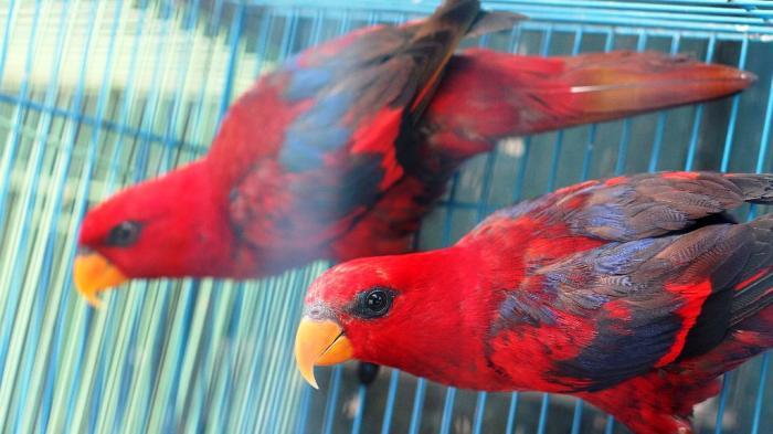 Permalink to Harga Burung Terbaru di Jogja