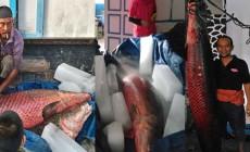 Permalink to Ikan Sebesar Manusia Milik Bapak Muhammad Idris Akhirnya Mati